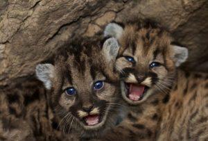 Małe pumy zwierzęta