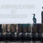 PHALACROCORAX CARBO NAFALOCHRONACH