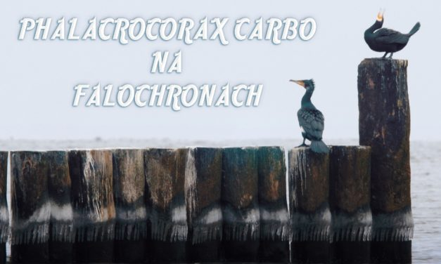 PHALACROCORAX CARBO NA FALOCHRONACH